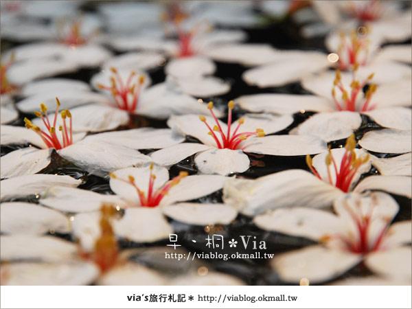 【2010桐花祭】桐花最新情報*彰化挑水古道油桐花17