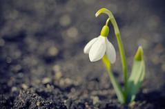 [フリー画像] [花/フラワー] [待雪草] [ホワイト/花]        [フリー素材]