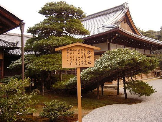 金閣寺裡年約六百年的松樹