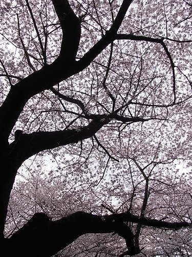 RIMG1488 目黒川 桜2 Meguro-Ku Tokyo Japan