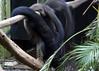 Pana'ewa Rainforest Zoo--Bearcats Flowing Off a Branch (Makuahine Pa'i Ki'i) Tags: bigisland bearcat binturong asianbearcat panaewarainforestzoo panaewa hilozoo panaewazoo
