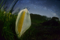 skunk cabbage in a galaxy (masahiro miyasaka) Tags: flowers blue winter sky white flower beautiful japan night canon stars wonder outdoors iso3200 star fisheye galaxy fantasy astrophotography   oneshot milkyway  startrail  earthandsky  earthandspace sigma15mmf28exdgfisheye Astrometrydotnet:status=failed eos5dmark bestnewcomer competition:astrophoto=2010 Astrometrydotnet:id=alpha20100474824058