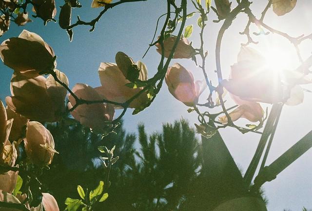 Magnolias at Yerba Buena