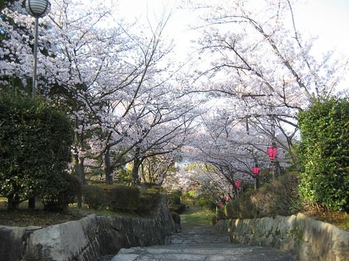 大竹 亀居公園 桜 画像 23