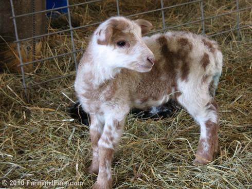 Random Lamb Cute 4