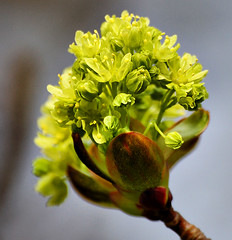 Acer flowers (ringtale) Tags: flowers macro spring acer