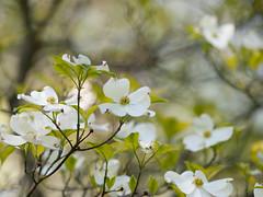 Cornus florida 'First Lady' (--ki---) Tags: dc washington arboretum dogwood usna cornus