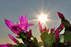 Flare cactus (Maik.Riegler) Tags: cactus sun flower germany spring flash flare distillery d90