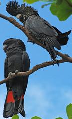 DSC_0124 b (Tartarin2009) Tags: travel birds animal nikon wildlife australia cockatoo townsville d80