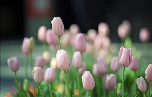 国際フォーラムのチューリップ:Tulip