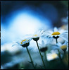 colors of a sigh (moaan) Tags: life blue white flower color green 120 6x6 mediumformat flora dof bokeh tint squareformat utata bloom flowering marguerite hue f28 rvp100f 2010 planar blooming florescence 80mm carlzeiss inbloom hasselblad500cm efflorescence parisdaisy fujivelvia100f floriculture inlife extension32e extension16e carlzeissplanarc80mmf28 gettyimagesjapanq1 gettyimagesjapanq2