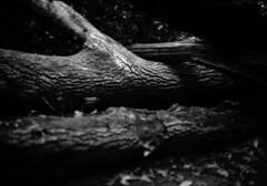 Close embrace with limbs intertwined (richard314159) Tags: blackandwhite film canon birmingham kodak photograph 135 40mm canonet ql17 giii moseley moseleybog xtol f17 adox ortho25 richard314159 20100415acanonetbfm0410bog