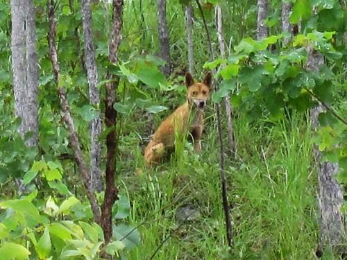 Wild Dingo