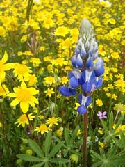(flygrl67) Tags: california ca flowers flower creek spring shell april wildflowers centralcoast wildflower slo hwy58 sanluisobispo centralcoast nativeplants highway58 shellcreek sanluisobispowildflowers