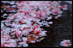 Until next year... (Eric Flexyourhead) Tags: street city pink urban canada rain vancouver cherry puddle downtown bc bokeh britishcolumbia ripple blossoms sidewalk raindrops sakura raining homerstreet om50mmf14 olympusep1