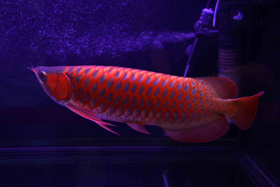 03_Red-Dragon-Fish