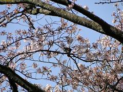 Sakura    (ddsnet) Tags: plant flower birds japan sony birding cybershot  cherryblossom  sakura nippon odawara  birdwatching nihon hanami  backpackers    flower            kanagawaken    cherry blossom    japan japan hx1       birdwatchinginjapan flowerinjapan birdwatching birdwatching