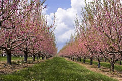 Nectarine Orchard (Muffet) Tags: trees seasons harvard blossoms orchard nectarines carlsons harvardma carlsonsorchard