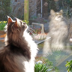 What is Floris doing (Cajaflez) Tags: pet birds cat kat chat looking longhair vogels mainecoon katze gatto gatti kater kijken cc300 cc200 cc100 kissablekat bestofcats saariysqualitypictures