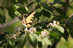2010_05_01_IMG_2618 (mikedelaney0391) Tags: butterfly photography honeysuckle mywinners