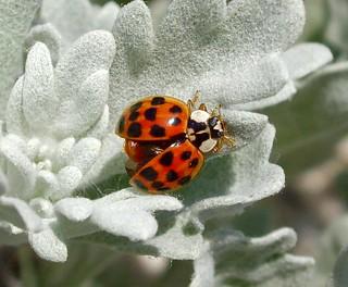 Ladybug Opening its Shell
