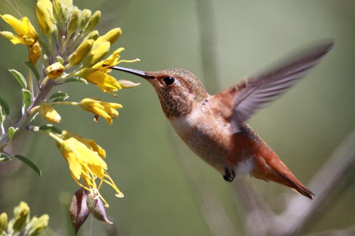 318_050210_hummingbirdFly01
