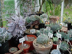 (cork3000) Tags: pots greenhouse echeveria graptopetalum dudleya graptoveria