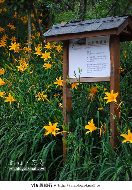 【台中休閒農場】2010金針花~新社沐心泉金針花3