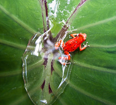 Red Frog (Danusa Campos) Tags: world trip travel viaje red beach expedition nature del island photography photo foto natureza picture we