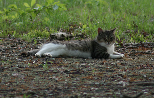 An adult cat, tabby with a white underside, lounges regally on his side.  You can tell he's an intact tom by his muscle tone and huge jowly cheeks.
