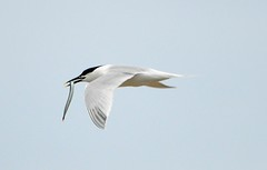 Sandwich Tern (Sterna sandvicensis) - Sea food luncheon