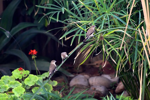 Indian Silverbills