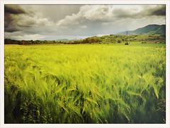 Wind over wheat field