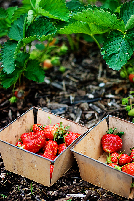 first strawberries 2