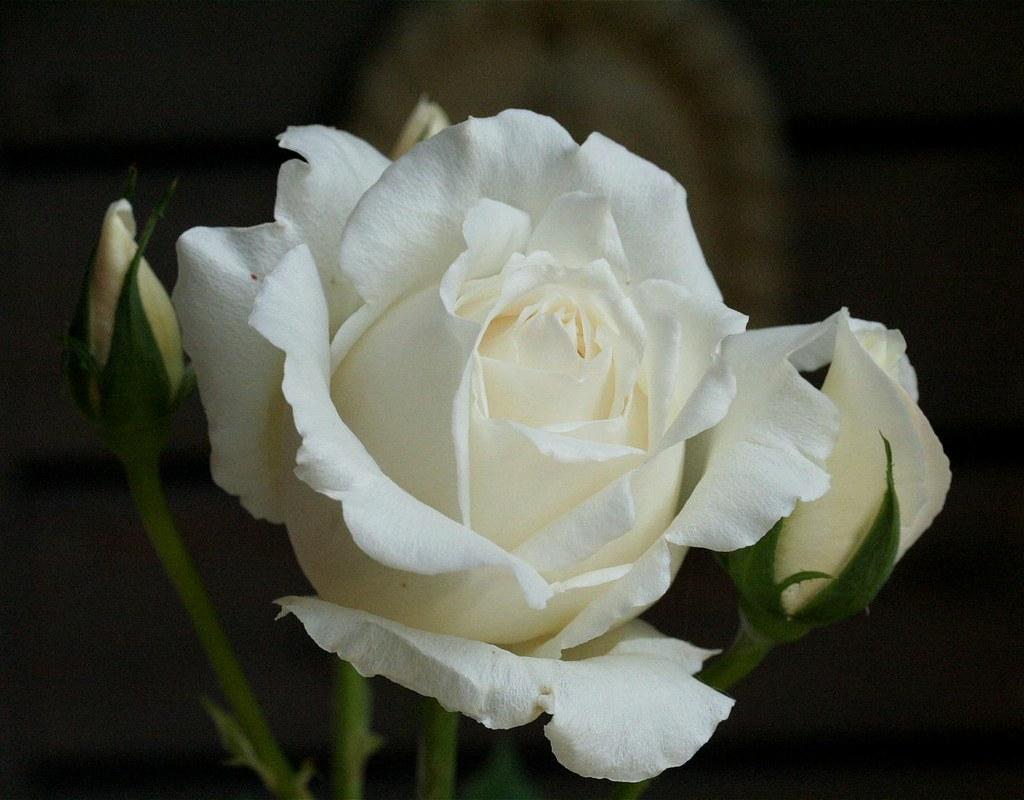 Image result for Rosa White Christmas