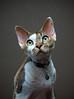 Portrait of Aspen ♥ (kotobuki711) Tags: boy portrait brown white cute male green yellow cat fur eyes feline sweet tabby young kitty curly aspen wavy soulful devonrex molting devonshirerex canon50d