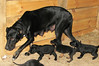 Hunde - 27 (Manfred Lentz) Tags: pets dogs puppy pups puppies hunde littledogs welpen hündchen babydogs whelps