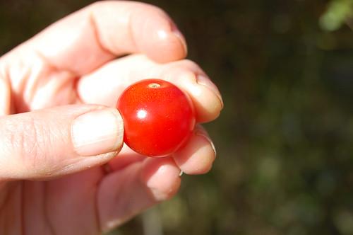 "Tomato ""Café Rubik"""