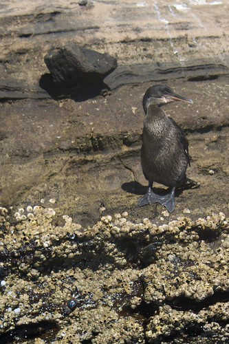Flightless Cormorant (Phalacrocorax harrisi) on Rock