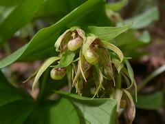 Cypripedium fasciculatum (Native Orchids) Tags: california orchid flower native ladysslipper cypripedium nevadacounty fasciculatum greenflower wfgna oddshape orchidacea