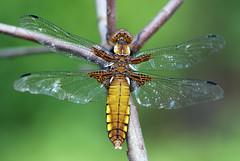 Plattbauch Libellula depressa f.100525 026 (juergen.mangelsdorf) Tags: macro nature insect dragonfly libelle odonata segellibelle