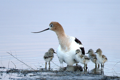 American Avocet with Chicks