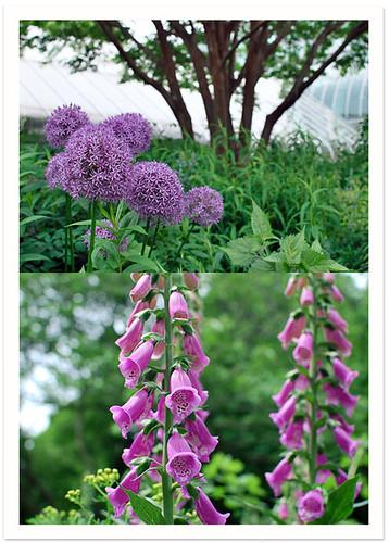 Allium & Foxglove