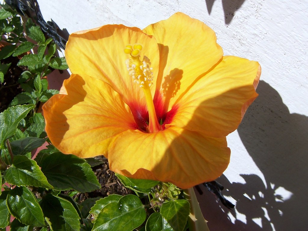 The World\'s Best Photos of hibiscus and jardín - Flickr Hive Mind