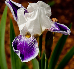 White Iris (Paul Broderick) Tags: nikond90 lightroom2 cpaulbroderick