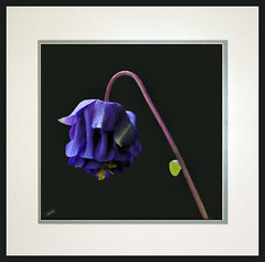 Columbine01 Smudge PA (Paddrick) Tags: flower digital painting smudge columbine pantograph paddrick ditial nwexposures