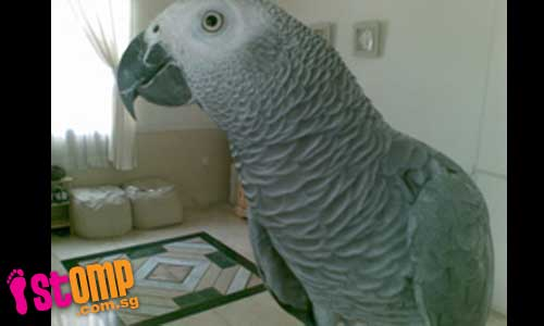 $5000 reward for finding my lost African Grey