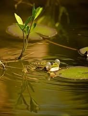 Quack (Stephi 2006) Tags: frog smc quack aficionados pentaxk10d smcpda55300mmf458ed