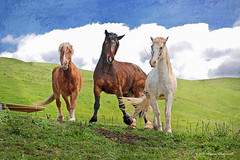 Three's a crowd (Pony girl2 (catching up..again)) Tags: california horses white clouds bay spring bluesky pasture belgian draft greengrass percheron sorrel tennesseewalker