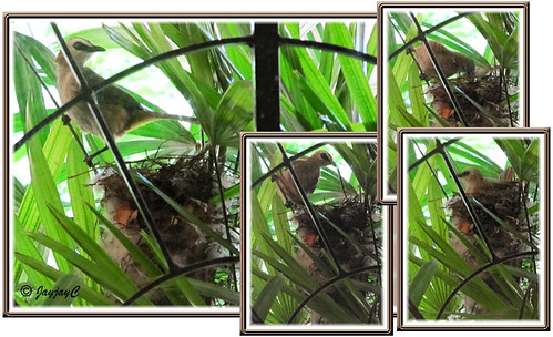 Collage: Another attempt at nest-building by Pycnonotus goiavier (Yellow-vented Bulbul) on our Lady Palm trees
